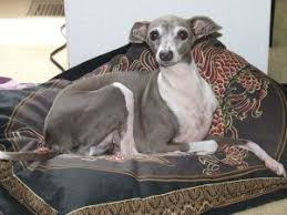 Do Italian Greyhounds Shed A Lot by Italian Greyhound