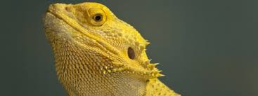 Bearded Dragon Heat Lamp Timer by The Costs Of Keeping A Bearded Dragon Bearded Dragon Costs
