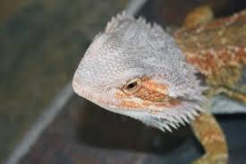 bearded dragon care guide dragon rancher