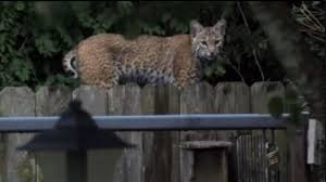 Free Pumpkin Patch In Katy Tx by Richmond Man Sights Bobcat In His Backyard Three Days In A Row
