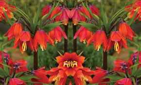 fritillaria imperialis bulbs groupon goods