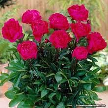 pivoine herbacee en pot vente en gros peony seeds galerie achetez à des lots à petits