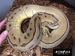 the psychology of problem feeders get your ball python eating