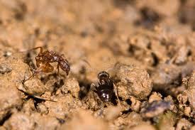 gemeine rote ameise myrmica rubra und kleine schwarze