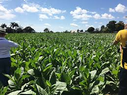 To See The Cuban Tobacco Farms One Must Travel Far West This Legendary Province Surrounded By Lush Grassy Mountains And Blessed With Ideal Weather