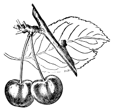 cherry clip art cherry leaf and fruit vintage botanical fruit black and white