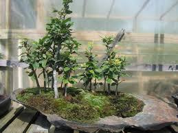 pot bonsai grande taille parlons bonsai le style forêt yose ue