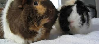 Can Guinea Pigs Eat Salted Pumpkin Seeds by 100 Guinea Pig Facts To Celebrate 100 Posts Online Guinea Pig Care