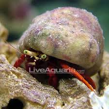 Do Hermit Crabs Shed by Reef Hermit Crab