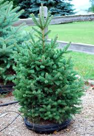 Potted Christmas Trees For Sale by Enjoy A Living Christmas Tree For Years To Come Msu Extension