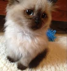 Can persian cats be hypoallergenic – Popular breeds of cats photo blog