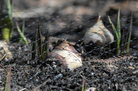 deter squirrels from digging up newly planted bulbs