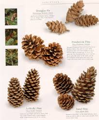 Types Of Christmas Trees With Pictures by Type Of Pine Cones Douglas Fir Tree Ponderosa Loblolly Sand