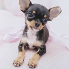 Non Shedding Small Dogs For Adoption by 7 Things That Make Chihuahua An Amazing Breed Animalso
