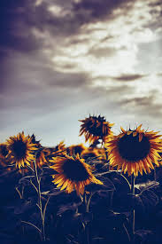 Photography Sky Hipster Vintage Indie Flower Field Nature Retro Floral Sunflower Vibrant