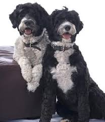 Portuguese Water Dog Shedding Problems by 191 Best Portuguese Water Dog Images On Pinterest Portuguese