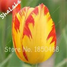 100 pcs netherlands tulip seeds not tulip bulbs potted colors