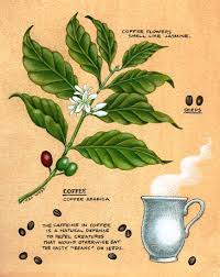 THE BOTANY OF COFFEE PLANT