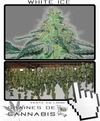 recolte cannabis exterieur date semences de white cannabis