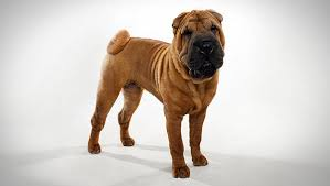 Do Mini Shar Peis Shed by Chinese Shar Pei Dog Breed Selector Animal Planet