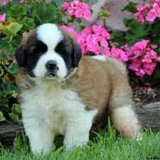 Do Short Haired Saint Bernards Shed by Saint Bernard Puppies For Sale In De Md Ny Nj Philly Dc And Baltimore