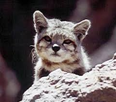 mountain cat the andean mountain cat beautiful small and