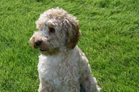 Do Irish Wheaten Terriers Shed by Soft Coated Wheaten Terrier х Soft Coated Wheaten Terrier