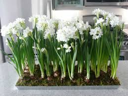 paperwhites images search
