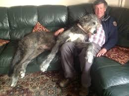 Irish Wolfhound Non Shedding by 164 Best Irish Wolfhound Images On Pinterest Irish Wolfhounds
