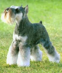 Do Giant Schnauzers Shed by Faqs