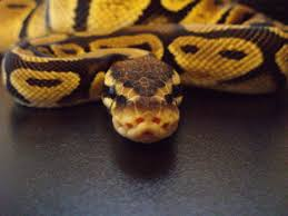 Ball Python Shedding Signs by Amazing Ball Python Wide Hd Wallpaper Jpg 2287 1715 Snakes
