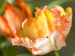 parrot tulips and other flowers hgtv