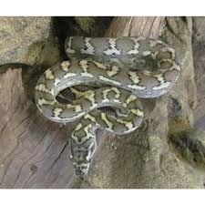 Coastal Carpet Python Facts by Albino Darwin Carpet Python Amazing Amazon