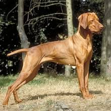 Vizsla Dog Breed Shedding by Vizsla Dog Breed Remarkable Dogs