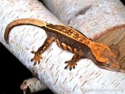 Extreme Halloween Crested Gecko by Northern Gecko Canada U0027s Source Of Premium U0026 Pure Bloodline New