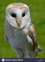 BARN OWL Tyto Alba A Heart Shaped Face Buff Back And Wings And ... White And Brown Barn Owl Free Image Peakpx Sd Falconry Barn Owl Box Tips Encouraging Owls To Nest Habitat Diet Reproduction Reptile Park Centre Stock Photos Images Alamy Bird Of Prey Tyto Alba Video Footage Videoblocks Barn Owl Tyto A Heart Shaped Face Buff Back Wings Bisham Group Bird Of Prey Clipart Pencil In Color British Struggle Adapt Modern Life Birdguides Beautiful Owls Pulborough Brooks The