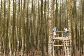 Eksotisme Hutan Pinus Mangunan Favorit Selfi Dan Pre Wedding