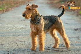 Airedale Terrier Non Shedding by Airedale Terrier Dog Breed Information Buying Advice Photos And