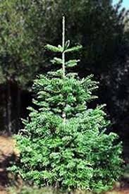 Nordmann Fir Christmas Trees Wholesale by Christmas Tree Lot Supplies Photo Albums Fabulous Homes Interior