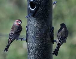 Birds That Eat At Feeders More Likely To Get Sick, Spread Disease ... Backyard Bird Watching House Finch Nest 5 Weeks Complete Feeding Finches Graycrowned Rosyfinch Audubon Field Guide Free Images Nature Wilderness Branch Seed Animal Summer At Feeder Stock Photo Image 82153967 How To Offer Nyjer Birds Birding Two Great Books For Those Who Enjoy Pet Upside Down Wild Tube Essentials Triple Supoceras Ornithology Finch Breeding Attract Goldfinches Your Dgarden Sfv Idenfication San Fernando Valley Society