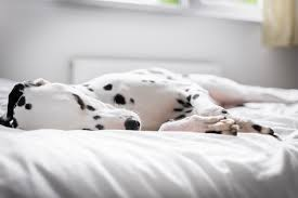 Here s Why Sleeping With Your Dog Is Actually Good For You