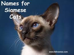 cat names siamese cat names finding a name for your siamese cat