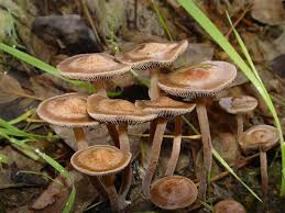 Magic Mushroom Guide | Potent Mushrooms In Grass Stock Photos Images Common Lawn Mushroom By Greyfox88 On Deviantart An Austin Homestead Wild Edibles Massive Perennial Garden Lover Nh Notes A Diverse Array Of In The Backyard Naturalis Backyards Gorgeous 15 Trees For Wildlife Friendly Edible Outdoor With Growing Your How To Grow And Get Rid Yard Southern Living The Budget Gardener Finally Wild Edible Mushrooms My Backyard Showme Missouri Department Cservation 7 Worlds Most Poisonous Britannicacom