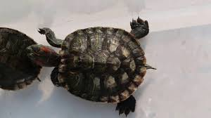 Turtle Shell Not Shedding Properly by Shell Rot And Bleeding Pt 3 Youtube