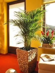 schöner wohnen mit areca palmen wächter pflanzencenter
