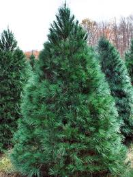 Christmas Tree Species Usa by Selecting The Perfect Christmas Tree Tree Types Msu Extension
