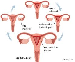 friendly guide to healthy periods menstrupedia