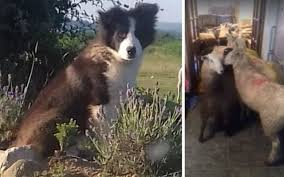 Sheltie Shedding In Clumps by How Bad Do Border Collies Shed Advice From Real Border Collie