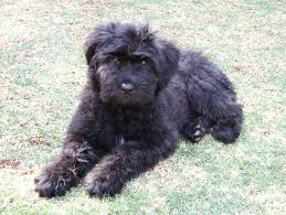 Wirehaired Pointing Griffon Non Shedding by Bouvier Des Flandres Wikipedia