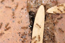 ameisen im mauerwerk was können sie dagegen tun